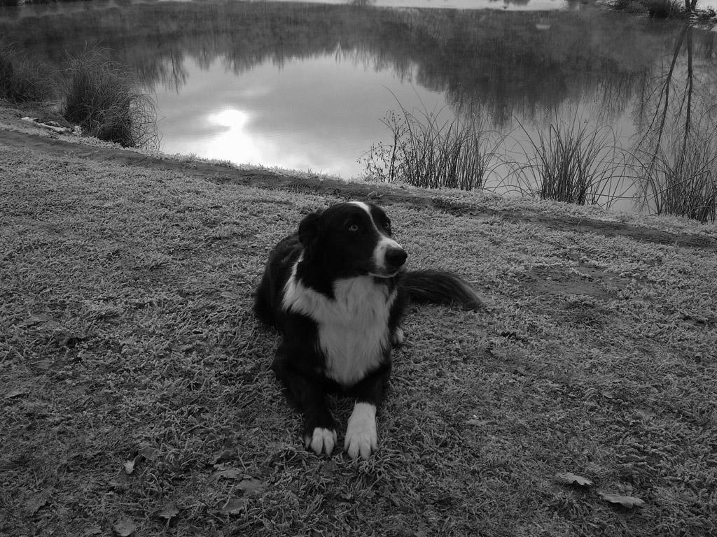 Photo chien type Border Collie