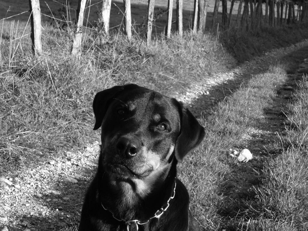 Photo chien type Rottweiler