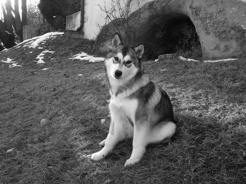 Photo chien type Husky