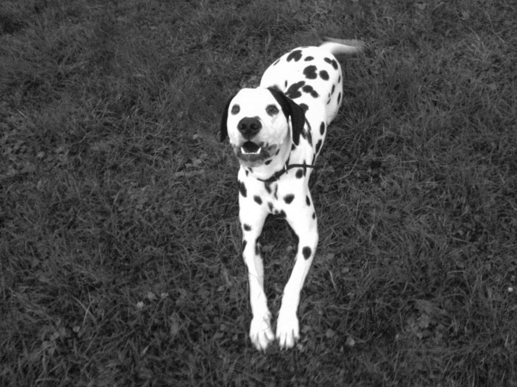 Photo chien type Dalmatien