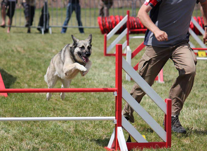 Doug Éducation - Sports canins - Agility - Saut d'obstacle