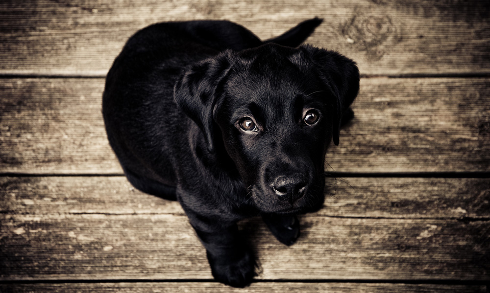 doug-education-canine-chiot